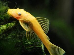 Сом анциструс альбинос фото