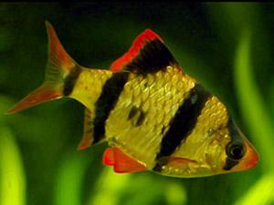 Барбус суматранский фото
