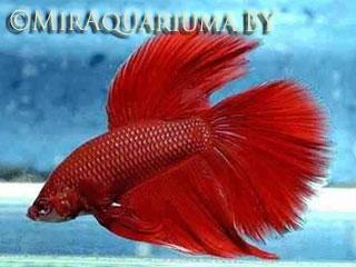 Бойцовая рыбка-петушок фото