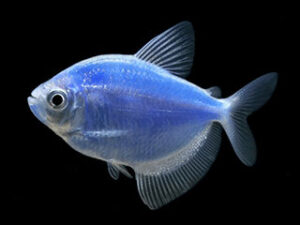 Тернеция-карамелька синяя фото