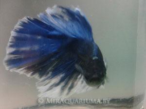 Бойцовая рыбка-петушок луна фото