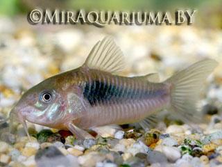 Коридорас золотистый - аквариумная рыбка