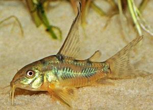 Коридорас крапчатый вуалевый - аквариумная рыбка