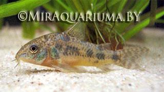 Коридорас крапчатый - аквариумная рыбка