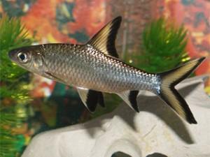 Рыбка акулий балу фото