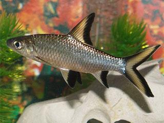 Акулий барбус или акулий балантиохейлус