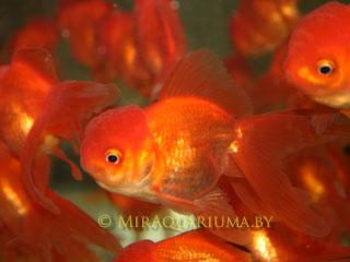 Аквариумные золотые рыбки (риукин красный)