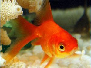Золотая рыбка риукин красный фото