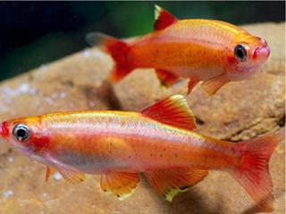 Рыбка кардинал фото